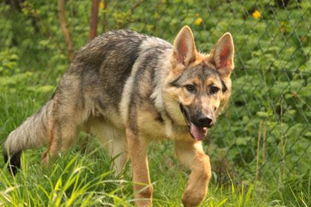 happy end amiro deutscher sch ferhund tschechoslowakischer wolfshund r de zuhause. Black Bedroom Furniture Sets. Home Design Ideas