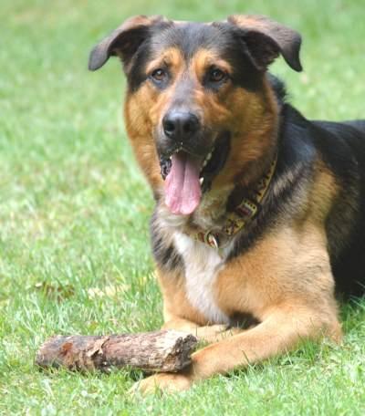 Schaferhund Berner Sennenhund Mix Benno Rude Zuhause Gefunden Hundshuus Happy Ends Archiv Von Zergportal De