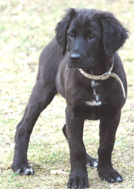 Rhodesian Dogge Labrador Mix Flat Welpen Zuhause