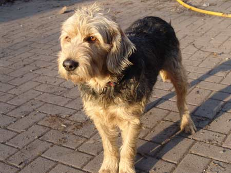 Airedale Mix Related Keywords - Airedale Mix Long Tail ...