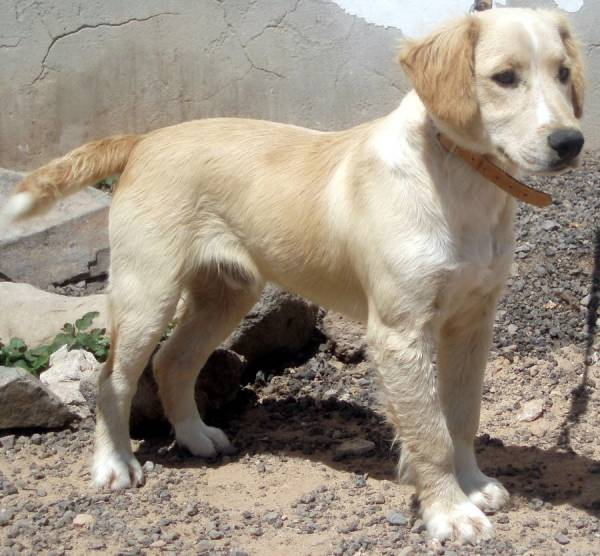 Cocker Spaniel Labrador Mischling Hopfen Insel R 252 De Zuhause Gefunden Tierhilfe
