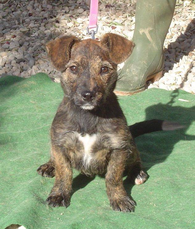 Dackel cairn terrier mix