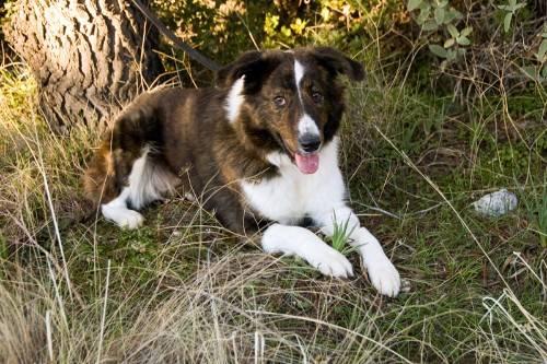 griechischer schäferhund