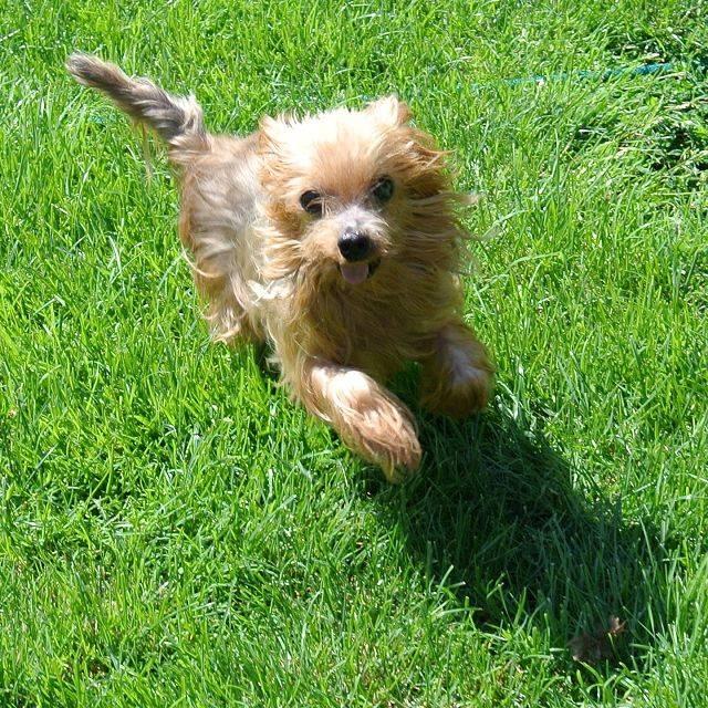 yorkshire terrier r de teddy sucht ein zuhause tierfreunde spanien e v christine braun. Black Bedroom Furniture Sets. Home Design Ideas
