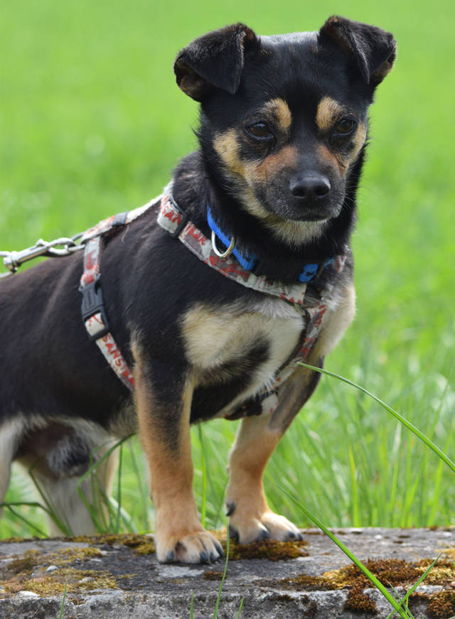 Hund Chucky Chihuahua Mops Mischling Ca Oktober 12 Geboren Sucht Neues Zuhause