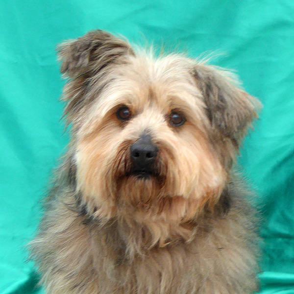 havaneser yorkshire terrier mischling olli r de zuhause gefunden tini tiere in not. Black Bedroom Furniture Sets. Home Design Ideas