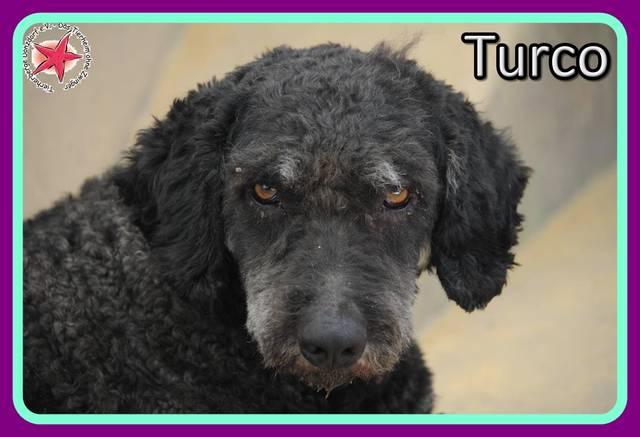 spanischer wasserhund turco r de zuhause gefunden tierherberge donzdorf e v happy. Black Bedroom Furniture Sets. Home Design Ideas