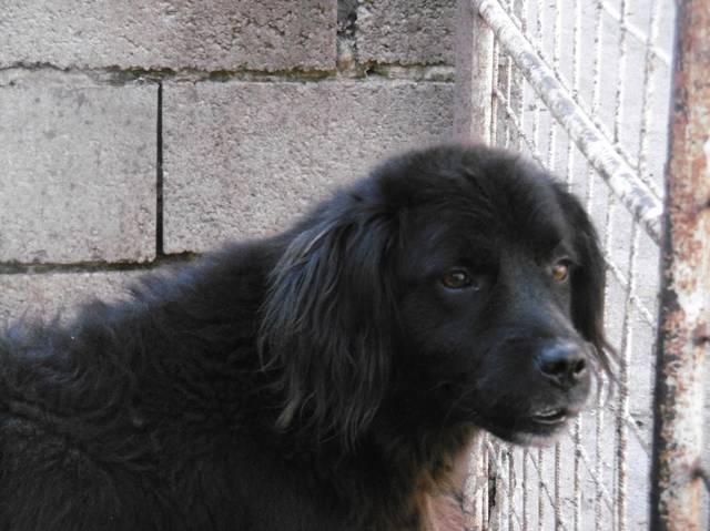 Hundevermittlung, Sziriusz, Chow-Chow-Mix (Rüde) sucht ein ...  Hundevermittlun...