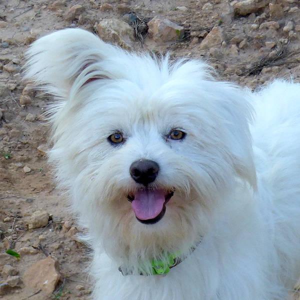 Havaneser Malteser Mischling Smily Rude Zuhause Gefunden Tini Tiere In Not Ibiza E V Happy Ends Archiv Von Zergportal De