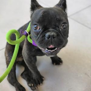 Franzosische Bulldogge In Not Hundevermittlung Das Online