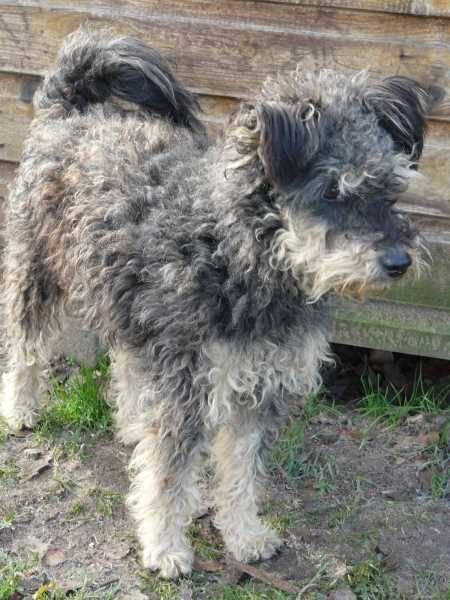 Pudel Terrier Mix Szani Hundin Zuhause Gefunden Tierschutzverein Munster Und Umgebung E V Happy Ends Archiv Von Zergportal De