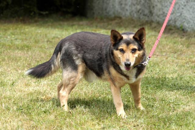 Schaferhund Spitz Mix Bello Notfall Rude Zuhause Gefunden
