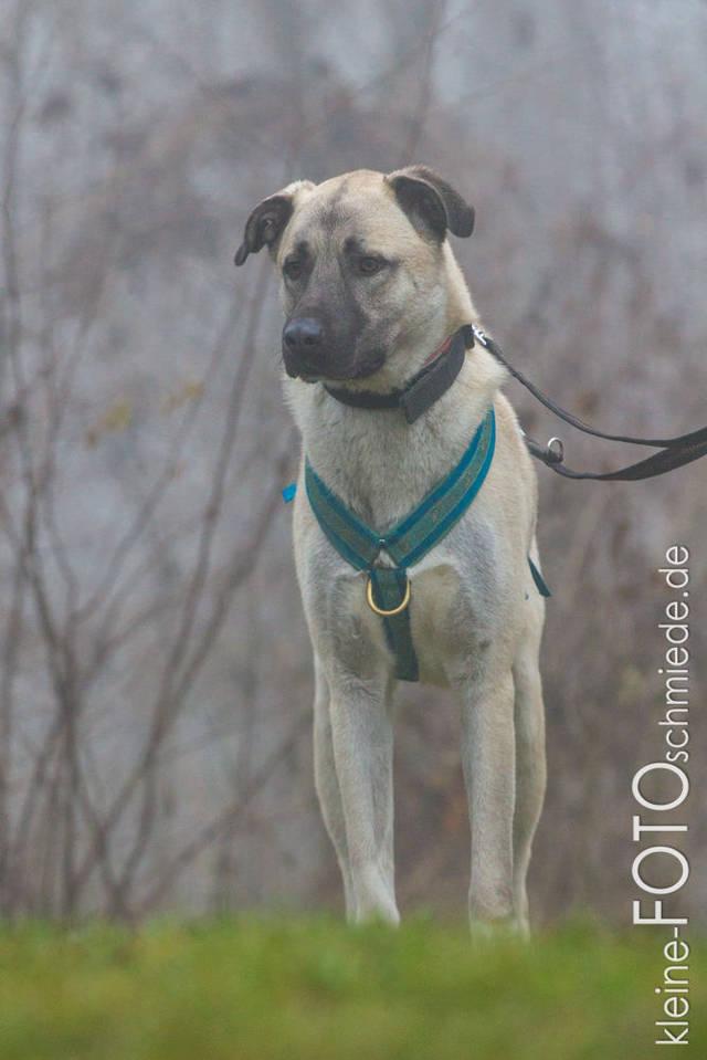 Hundevermittlung Pascha Kangal Rüde Sucht Ein Zuhause