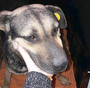 Hundevermittlung Milka Kurzhaar Sch 228 Fer Mischling