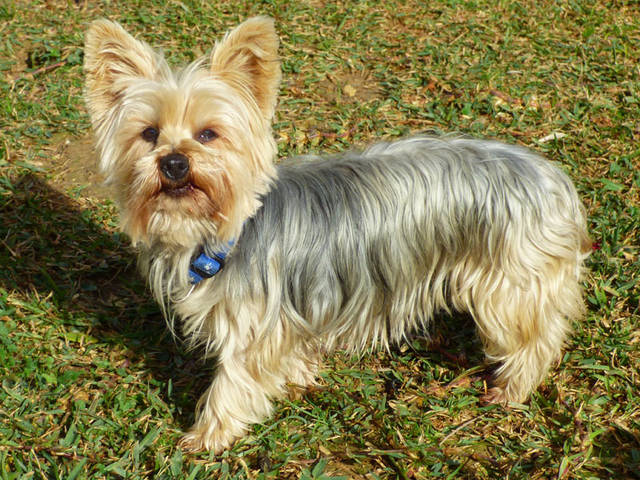 hundevermittlung coco yorkshire terrier h ndin sucht. Black Bedroom Furniture Sets. Home Design Ideas