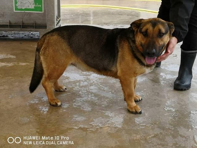 Schäferhund Dackel