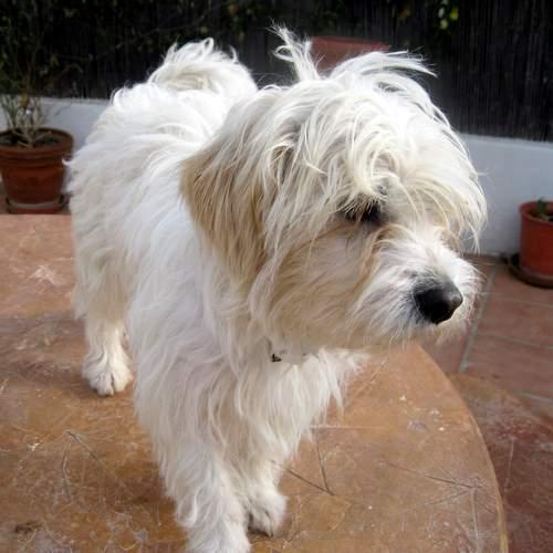 malteser bichon mischling peluchi h ndin zuhause gefunden hundepfoten in not e v. Black Bedroom Furniture Sets. Home Design Ideas