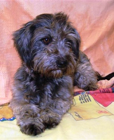 Tibet terrier malteser mischling