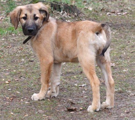 Rhodesian Dogge Labrador Mix Leon Welpen Zuhause