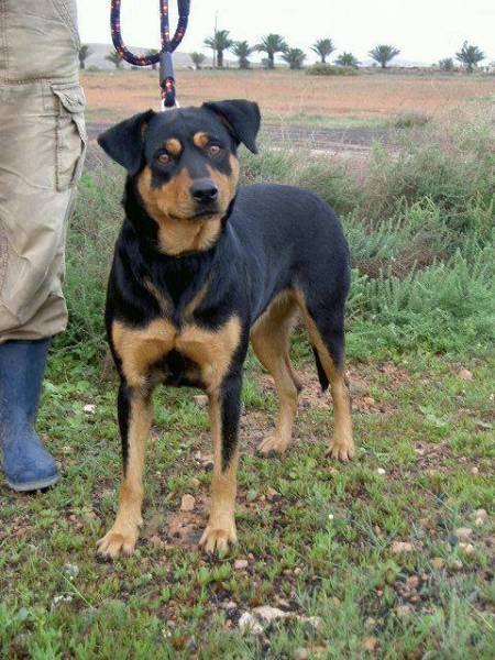 Go back gt gallery for gt beauceron mix