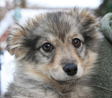 Mischling Typ Zwergspitz Pomeranian Mia Welpe N