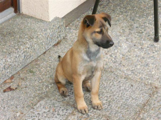 SchäferhundTerrierMischling Terrier mischling, Hunde
