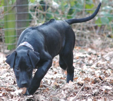Rhodesian Dogge Labrador Mix Ridge Welpen Zuhause