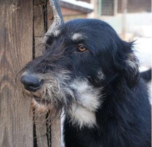 happy end sami schnauzer irischer wolfshund mix r de zuhause gefunden tierbestandsbuch archiv. Black Bedroom Furniture Sets. Home Design Ideas