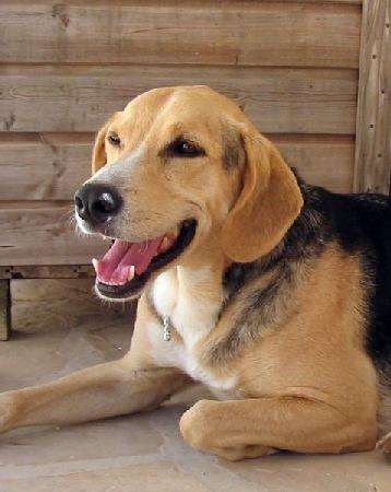 Beagle Schäferhund Mix