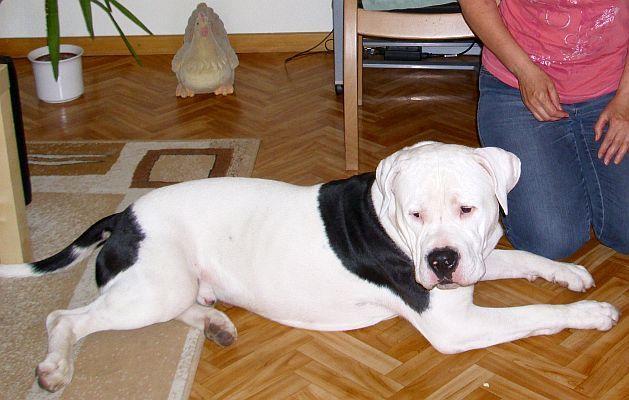 happy end sharky american bulldog r de zuhause gefunden tierbestandsbuch archiv. Black Bedroom Furniture Sets. Home Design Ideas