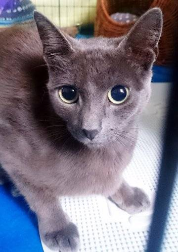 katzenvermittlung milli russisch blau mix weiblich sucht ein zuhause katzenhilfe. Black Bedroom Furniture Sets. Home Design Ideas