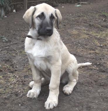 Kangal Welpen Hündin Zuhause Gefunden Herdenschutzhund