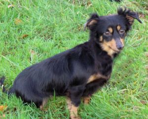 Dackel Chihuahua Mix Holly H 252 Ndin Zuhause Gefunden Hunde In Not Polen Happy Ends