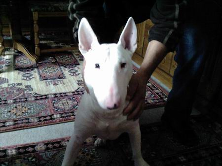 bullterrier r de otti sucht ein zuhause bullterrier. Black Bedroom Furniture Sets. Home Design Ideas