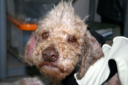 happy end panki spanischer wasserhund mischling notfall h ndin zuhause gefunden. Black Bedroom Furniture Sets. Home Design Ideas