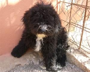 happy end pumi h ndin reserviert perro di agua espanol spanischer wasserhund welpe n. Black Bedroom Furniture Sets. Home Design Ideas