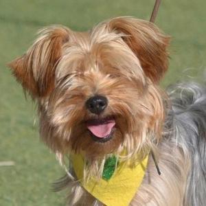 CUCA - Yorkshire-Terrier - Hündin - Alter: ca. 01.01.2015 geboren - Anzeigen-ID: 855480
