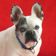 Milla - Französische Bulldogge - Hündin - Alter: ca. 8 Jahre - Anzeigen-ID: 860739