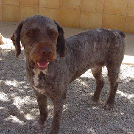 spanischer wasserhund marley r de zuhause gefunden tierhilfe malaga happy ends archiv. Black Bedroom Furniture Sets. Home Design Ideas