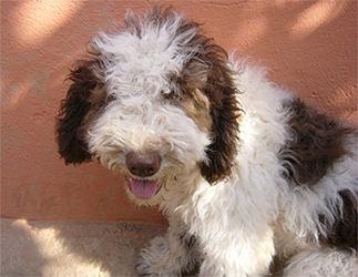 happy end flequi reserviert perro di agua espanol spanischer wasserhund welpe n. Black Bedroom Furniture Sets. Home Design Ideas