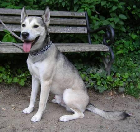 Siberian Husky Bullterrier Mix Toni Rüde Zuhause Gefunden