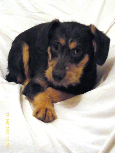 Rauhaardackel/Terrier/Schnauzer Mischling - Zeus, (Welpe(n