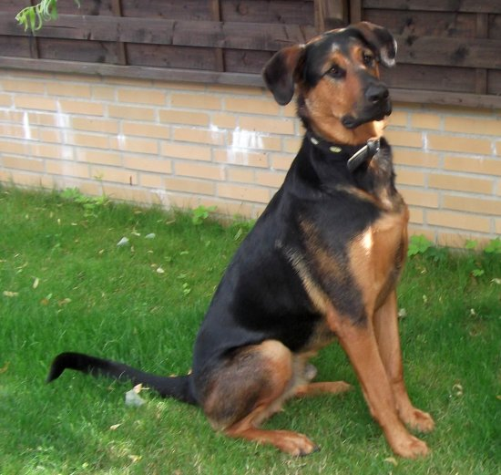 altdeutscher sch ferhund rottweiler dobermann mix jack r de zuhause gefunden. Black Bedroom Furniture Sets. Home Design Ideas