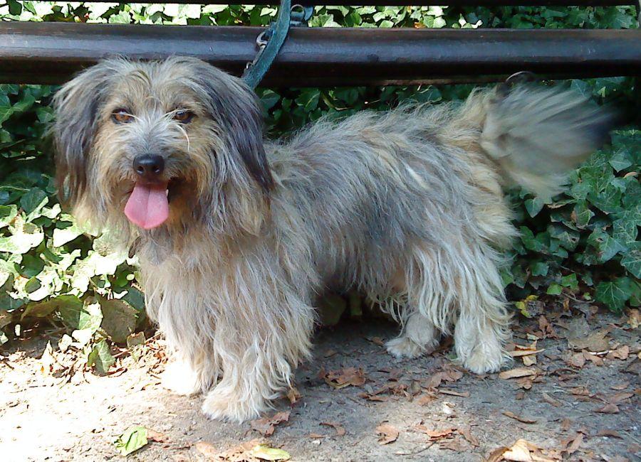 Shih Tzu Yorkshire Terrier Mix Elise Hündin Zuhause Gefunden