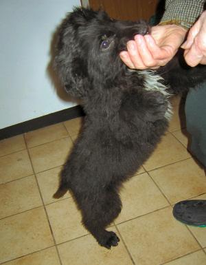 Welpen labrador sennenhund mix Labrador Mix