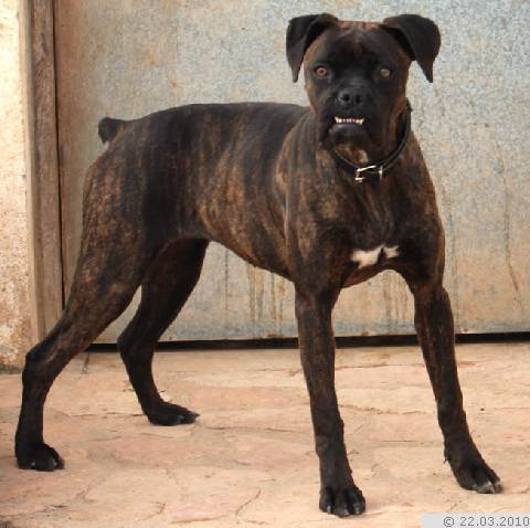 boxer franz bulldoggen mix whoopy h ndin zuhause. Black Bedroom Furniture Sets. Home Design Ideas