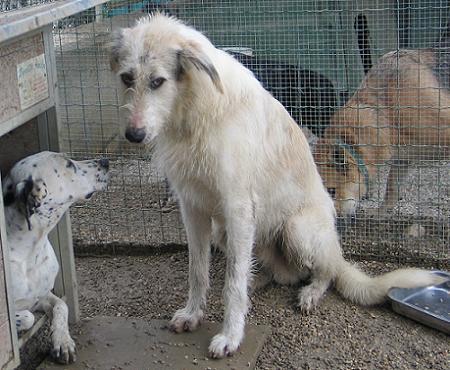 happy  zio irischer wolfshund terrier mix notfall